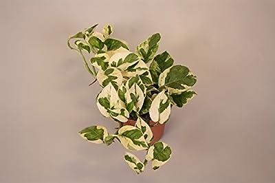 Efeutute, Scindapsus, (Epipremnum aureum) Sorte: N'Joy, weiss buntes Blattwerk, rankend, Ampelpflanze, luftreinigend von unsere-gaertnerei bei Du und dein Garten