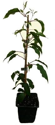 3 x Minikiwi Pflanze - Bayernkiwi - Kens Red - Actinidia arguta winterharte Trauben-Kiwi