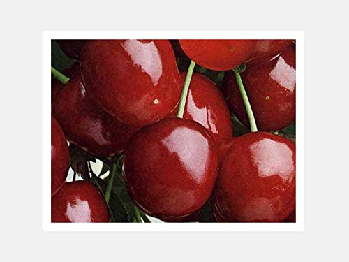 1-pianta-di-ciliegio-durone-di-vignola-tardiva-albero-da-frutto-matura-a-luglio
