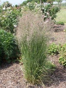 Reitgras 'Overdam' (Calamagrostis) Straff aufrechtes gestreiftes Ziergras von Staudengärtnerei - Du und dein Garten