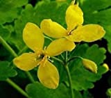 25 Schöllkraut (Bai-Qu-Cai) Samen (Chelidonium majus), Heilpflanze