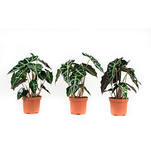 BOTANICLY   3 × Zimmerpflanze - Elefantenohr oder Pfeilblatt   Höhe: 30 cm   Alocasia sanderiana