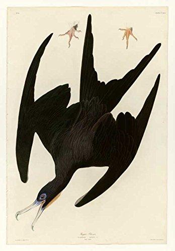 Das Museum Outlet-Art Postkarte-Audubon (- Fregatte Pelican-Teller 271-Set 12Stück Postkarten Pelican Pc