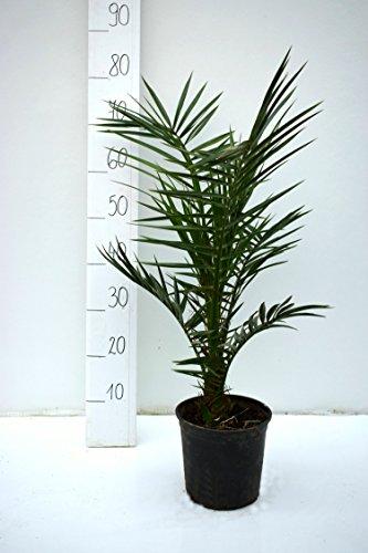 Kanarische Dattelpalme - Phoenix canariensis - Gesamthöhe 60-80cm - Topf Ø 18cm