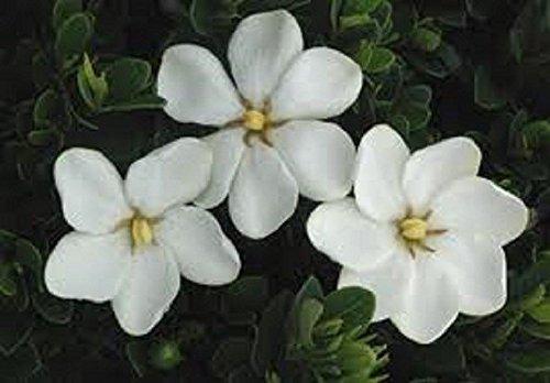 FERRY Bio-Saatgut Nicht nur Pflanzen: Gardenia, Kleims Hardy, Twenty, Duftstoffe -