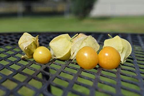 PLAT FIRM KEIM SEEDS: 100+ peruanisch Boden Kirsche Seeds. Aztec Berry. Kapstachelbeere Golden