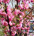 Mandelbäumchen Busch 60-80cm - Prunus triloba von Baumschule - Du und dein Garten