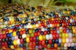 40x Riesen F1 Bunter Mais Glass Gem Corn Regenbogen Samen Garten #274