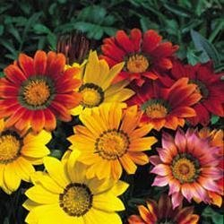 Galleria fotografica Fiore - Kings Seeds - Confezione Multicolore - Gazania - Splendens Mix