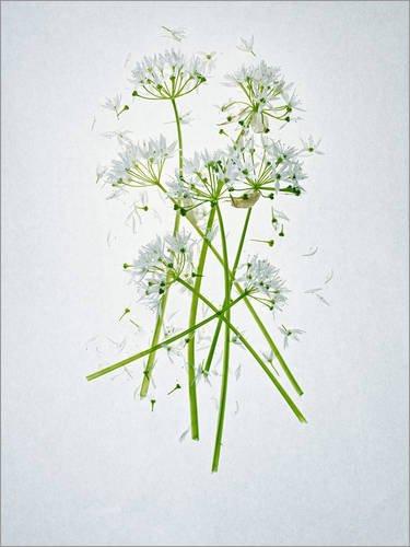 Posterlounge Forex-Platte 100 x 130 cm: Allium ursinum, Heilkraut von Axel Killian/Mauritius Images