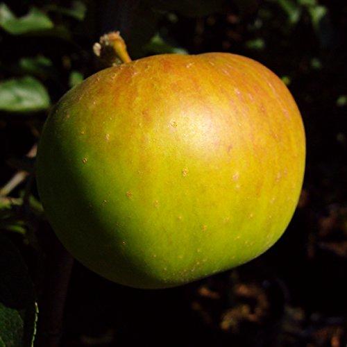 Müllers Grüner Garten Shop Jakob Lebel Herbstapfel historische Apfelsorte Hochstamm 180 cm Stamm wurzelnackt auf Sämling