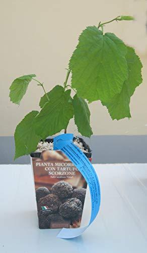 trifolabianca n° 2 piante da tartufo nocciolo micorizzate al tartufo nero estivo (tuber aestivum)