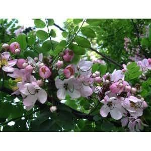50 Seeds Cassia Nodosa White and Pink Cassia
