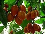 AGROBITS Tamarillo, Baumtomate, tamamoro, tomate de árbol - Ceum - 20 sehen