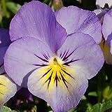 Heirloom 300Blumensamen Viola tricolor F1Johnny Jump Up Blueberry Cream Garden Flower S9120