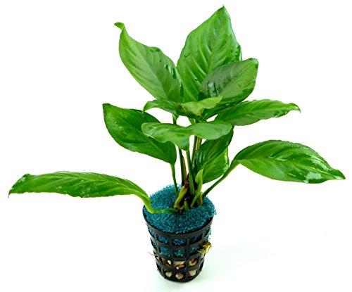 echte Aquarium süsswasser Pflanze Anubias heterophylla - Pflanzen Süßwasser-aquarium