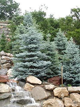VISA STORE Colorado Spruce, Pa, 100 Samen Seeds (Hardy Evergreen)