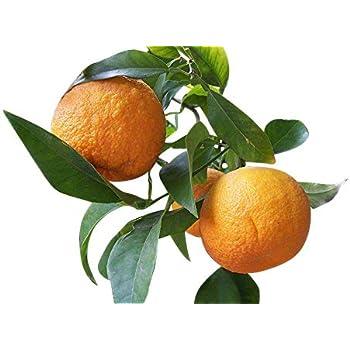 Satsumabaum Citrus unshiu Citrus Satsuma-Mandarine 80 cm