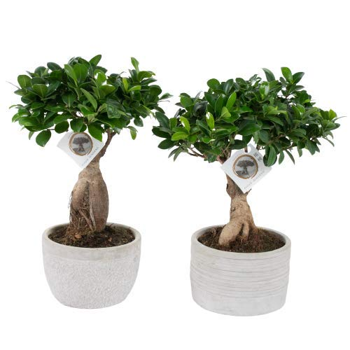 FloraStore - Bonsai Ficus Ginseng (Gefleckter Topf) (1x), Höhe 40 CM, Zimmerpflanze