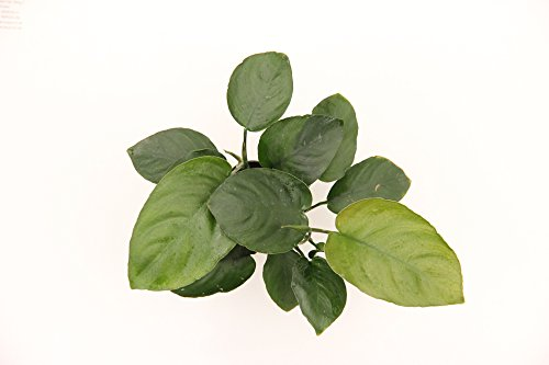 Dennerle Anubias barteri 'Broad Leaf' - Live Aquarium Plant - EU Grown & Shrimp Safe 3
