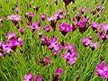 Kartäusernelke - Dianthus carthusianorum - Beetstaude von Native Plants von Native Plants - Du und dein Garten