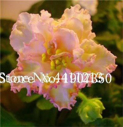 Bloom Green Co. 120 Pflanzen exotische usambaraveilchen Pflanzen Mischfarben Blumen Bonsai Saintpaulia Ionantha Garten Bonsai Blumentopf Staude: 2
