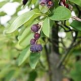 Gewöhnliche Felsenbirne - Amelanchier rotundifolia (ovalis) - Fruchtschmuck
