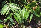 #8: Naga Kesar Nagakesara Nag kesar Mesua Ferrea Living Plant in Poly Bag