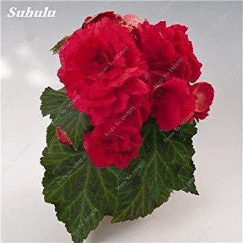 Nouveau! 150 Pcs Begonia Graines Bonsai Graines de fleurs Bonsai Maison & Jardin Flor Plantes en pot Purifier l'Office Air Bureau Fleurs 11
