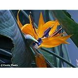 Strelitzia reginae - Estrelitzia gigante, Ave del Paraíso gigante - 3 semillas