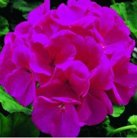 1Bga 10 Stück Samen Geranium Samen, Topf Balkon, Pflanzung Jahreszeiten, DIY Blumen pflanzen Mischfarben Samen Bonsai