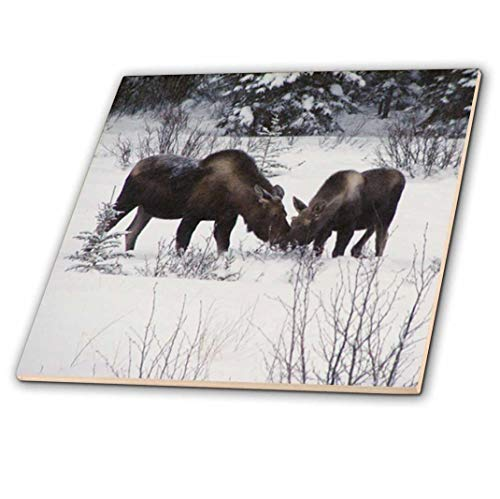 3dRose CT 14600_ 3Elch Kuh & Kalb Essen Winter Äste in die verschneite Field 1Keramik-Fliesen, 20,3cm -