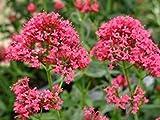 PLAT FIRM Germination Les graines PLATFIRM-Centranthus Ruber coccineus Jupiter Barbe rouge Fleurs Graines!