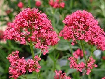 VISA STORE Centranthus Ruber coccineus Jupiters Beard REDs Samen!