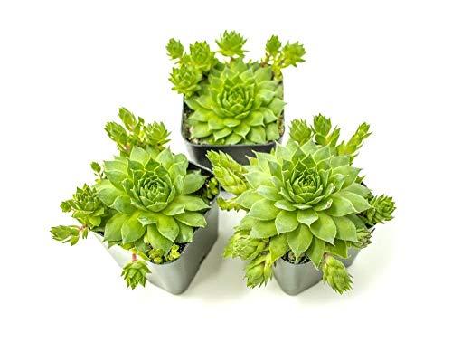 Seeds: -Pack: Henne und Küken Succulents - seedsed Sempervivum Houseleeks Samen, Töpfe mit Pups