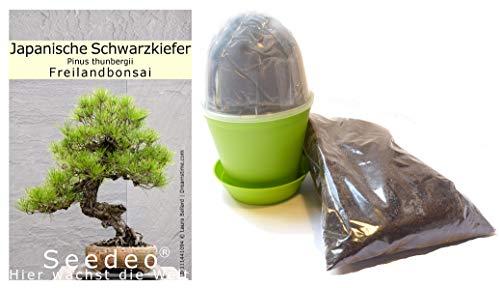 Seedeo Bonsai Anzuchtset Japanische (Schwarzkiefer Pinus thunbergii)