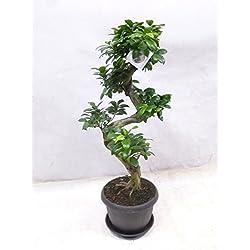 "Ficus microcarpa ""Ginseng"" BONSAI 90 cm // Zimmerpflanze"