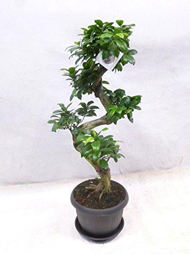 "Ficus microcarpa \""Ginseng\"" BONSAI 90 cm // Zimmerpflanze"