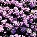 """Vergissmeinnicht """"Rosylva"""", 100 Samen von Nuts n' Cones - Du und dein Garten"""