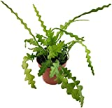 Fangblatt - Epiphyllum anguiler - bizzarer Blattkaktus - die Kaktee ist eine sehr schöne, pflegeleichte Zimmerpflanze für das sonnige Fensterbrett - blühfreudige Sukkulente