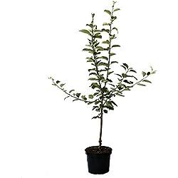 Müllers Grüner Garten Shop Nela (S) saftig süßer Sommerapfel beliebter Kinderapfel Apfelbaum als Buschbaum 150-170 cm 10 L Topf Veredelungsunterlage M7