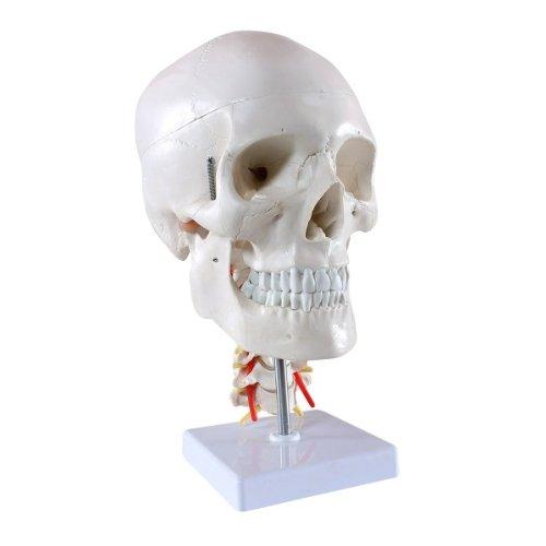 Zoom IMG-1 skelett24 s24 2141 teschio umano