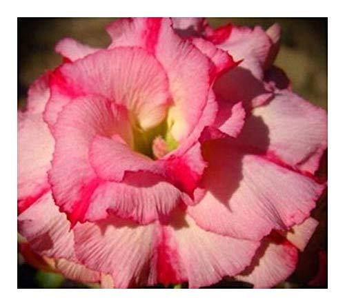 Adenium obesum Wanida - Rose du désert - Faux baobab - 3 graines