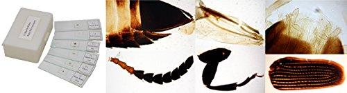 apex-beetle-lames
