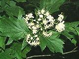 Elsbeere - Sorbus torminalis - Samen