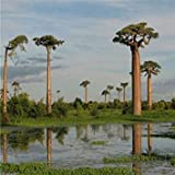 SANHOC Las Semillas del Paquete: Jardín de Semillas Originales de 10 Piezas Baobab RARA seedsSeed Semilla seedsHome y jardín Bonsai S