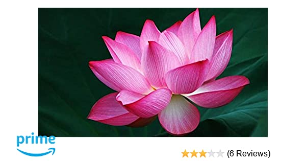 Alkarty Lotus Plant Food Black Amazonin Garden Outdoors