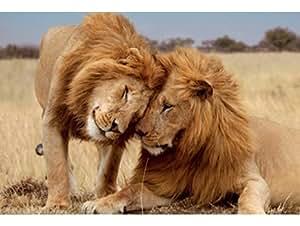 Puzzle - mb - 01102 - collection geo - famille de lion 500 pieces