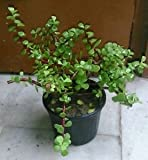 #6: Fressia Jade Plant Indoor Plant with 4 inch Pot