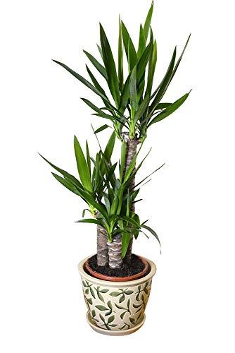 Plante d'intérieur - Plante pour la maison ou le bureau - Yucca elephantipes - Yucca sans épines, hauteur d'environ 80 cm